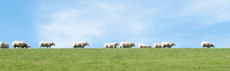 white sheep under blue sky on grassy dyke in dutch province of friesland in the north of the country