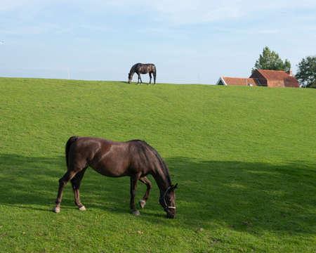 two horses on grassy dyke under blue sky in dutch province of friesland graze near farm