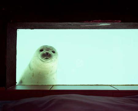 closeup of curious seal behind glass pane in pieterburen 免版税图像