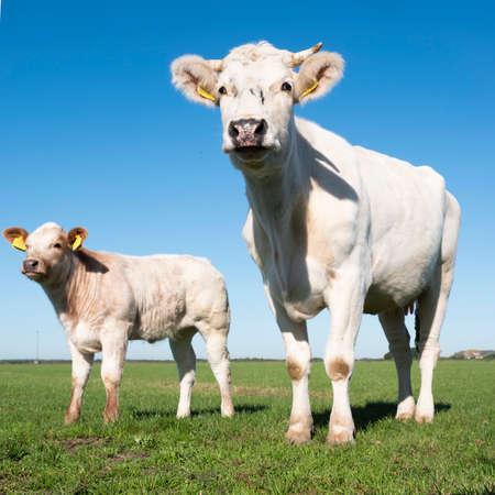 Vaca blanca y ternero bajo un cielo azul en verde prado holandés cerca de Amersfoort en los Países Bajos