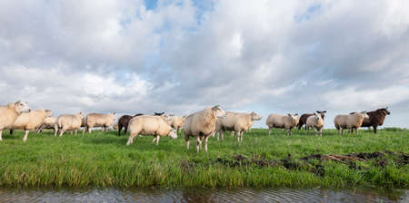 flock of sheep in green grassy meadow behind canal with reflections of sky and clouds in the netherlands