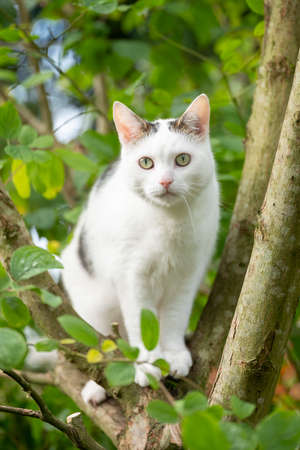 white cat hunts for birds between fresh green leaves in apple tree