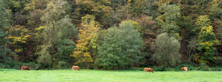 four brown limousin cows in meadow near autumnal fall forest in german eifel Stock Photo