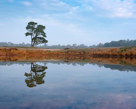 lone pine tree reflected in water of pond on the heath near zeist in holland with forest in the background Фото со стока