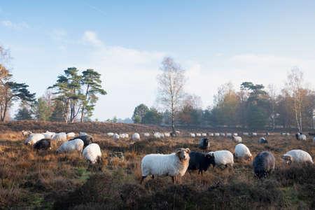 flock of dutch sheep on early morning autumnal heath near utrecht in warm sunlight in holland