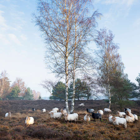 flock of dutch sheep on early morning autumnal heath near utrecht in warm sunlight in holland