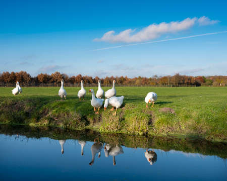 white geese in green meadow under blue sky with reflections in water of canal in the netherlands