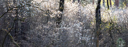 blooming shadbush or amelanchier in dutch early spring forest in the netherlands Imagens