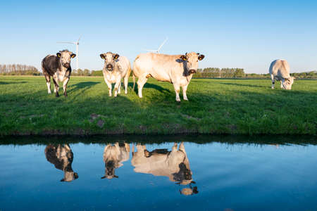 beef cows in green meadow under blue sky reflected in water of canal in early morning sunlight