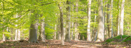 fresh green forest on spring morning in april with young beech leaves