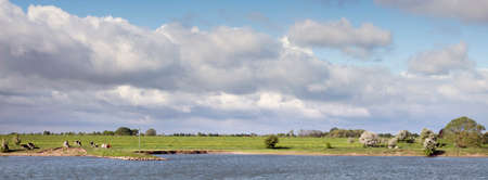 young cows in dutch river landscape in the centre of the netherlands under blue sky with cloudscape