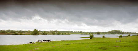 young cows in dutch river landscape in the centre of the netherlands under gray clouds Stock Photo