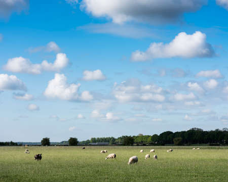 sheep in grassy meadow under blue sky with large white clouds