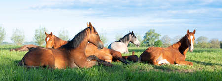 young horses lie in green grassy meadow under blue dutch sky in the netherlands 스톡 콘텐츠