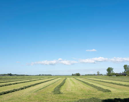field with hay swaths in the centre of the netherlands near city of leerdam under blue sky