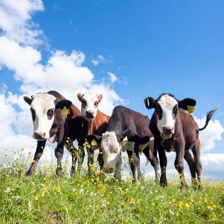 four calves stand in grassy meadow with yellow flowers under blue sky