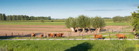 scottish highlander cows in dutch polder near lexmond in hollandon sunny spring day