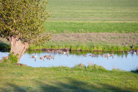 goose families swim in blue canal near willow tree next to meadow in the netherlands