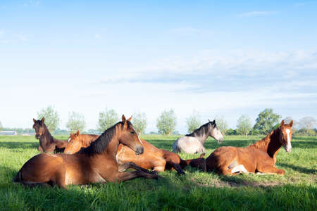young horses lie in green meadow under blue dutch sky in holland