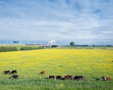 calves in yellow buttercup meadow near bridge over river Lek in holland Reklamní fotografie