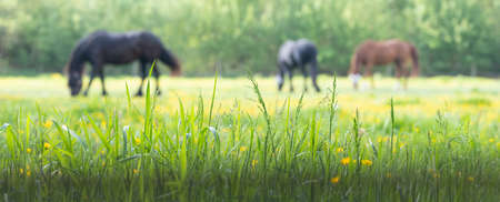 grass and yellow flowers with grazing horses in the background 스톡 콘텐츠