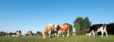 cows in the north of france near saint-quentin and valenciennes Stockfoto