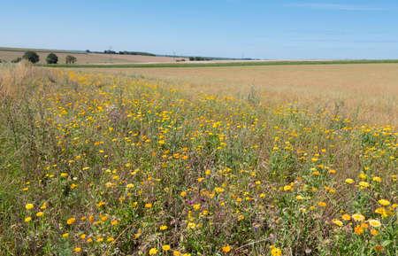 flowers for organic farming in rural landscape of northern france Reklamní fotografie