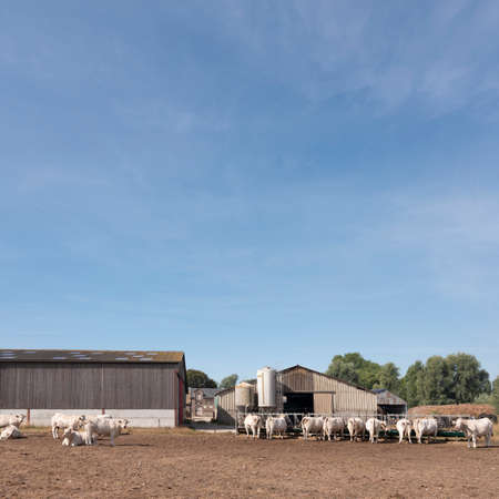 white cows and old farm near boulogne in french normandy