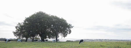 morning landscape with trees and young cows in german eifel