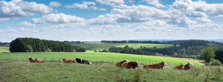cows lie in meadow with countryside landscape of german eifel in the background