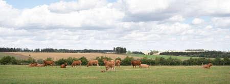 brown cows in german eifel countryside landscape