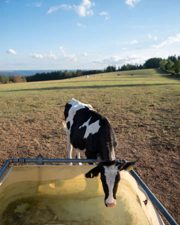 young black and white cow at drinking place in meadow with eifel national park in the background Reklamní fotografie