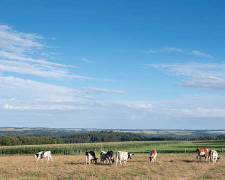 young spotted cows in meadow with eifel national park in the background