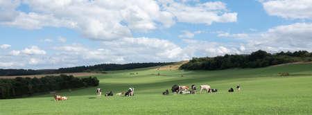 german eifel landscape with cows in meadows and fields