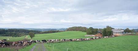 long row of cows in rural landscape of german eifel Reklamní fotografie