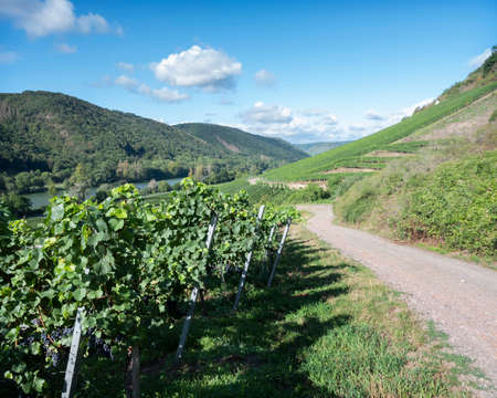 vines near Cochem and Pommern and river mosel in german eifel