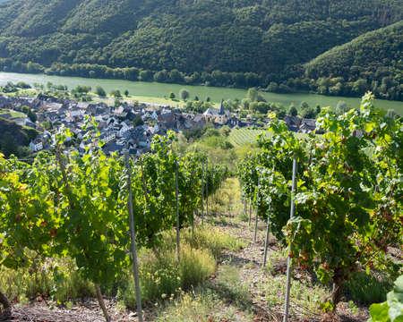 vines near village of Pommern and river mosel in german eifel Reklamní fotografie