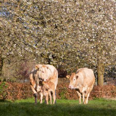 cows and calf in spring meadow with blossoming trees under blue sky Reklamní fotografie
