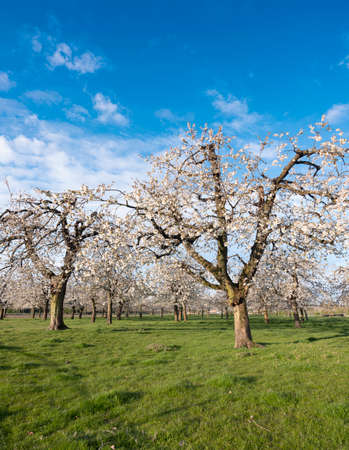 orchard with blossoming cherry trees under blue sky in spring
