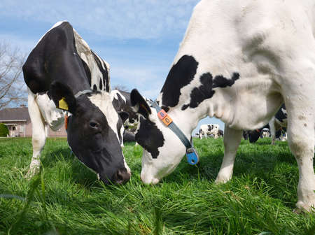 heads of black and white spotted cows closeup in meadow