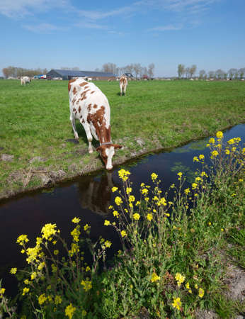 spotted cows and yellow spring flowers in meadow between utrecht and gouda in holland