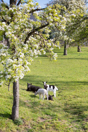 goat and lambs near blossoming spring orchard between utrecht and gouda in holland