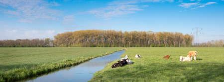 calves in meadow near canal in landscape of green heart near Oudewater in Holland Reklamní fotografie
