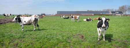 spotted cows and farm in meadow between utrecht and gouda in holland
