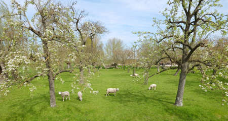 sheep and lambs in spring orchard under blue sky Reklamní fotografie