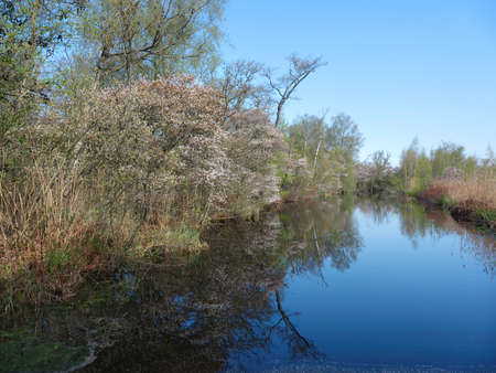 marsh area near nieuwkoop in the green haert of holland with blossoming currant trees.