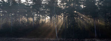 forest with fur trees in early morning sunshine with light beams