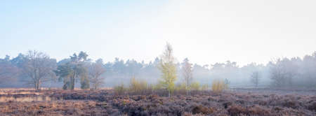heather or moore area on spring morning near amersfoort in holland