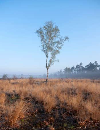 birch in spring on heath area near city of amersfoort in holland Reklamní fotografie