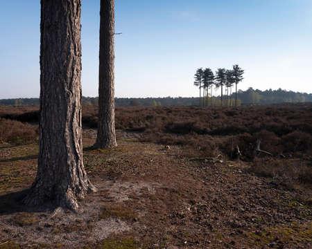 pine trees on heath land near utrecht in holland